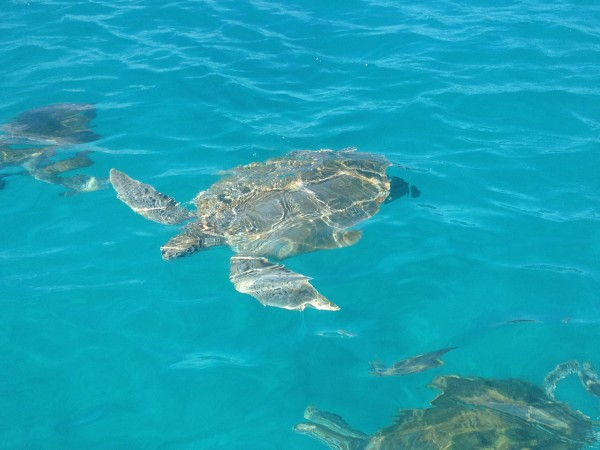 Swimming with turtles Barbados