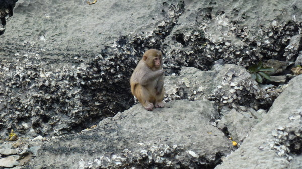 monkey in Halong Bay