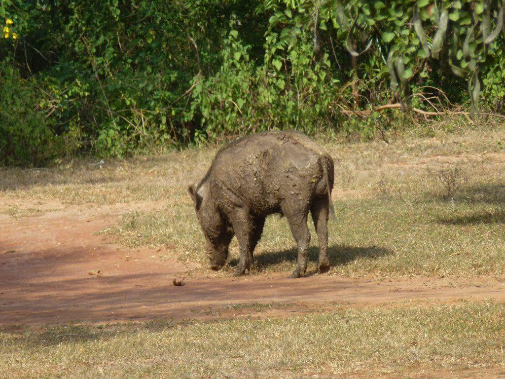 Leopard Safaris Yala National Park Sri Lanka