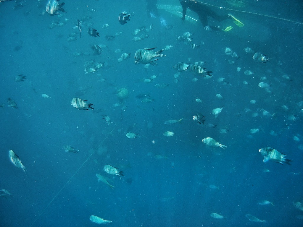 Rush hour for fishes at the Great Barrier Reef