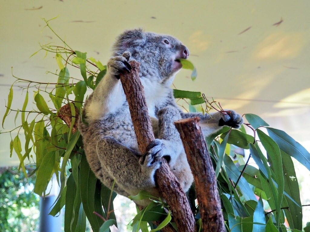 Having breakfast with Oprah (the Koala!) at WILD LIFE Koala Cafe