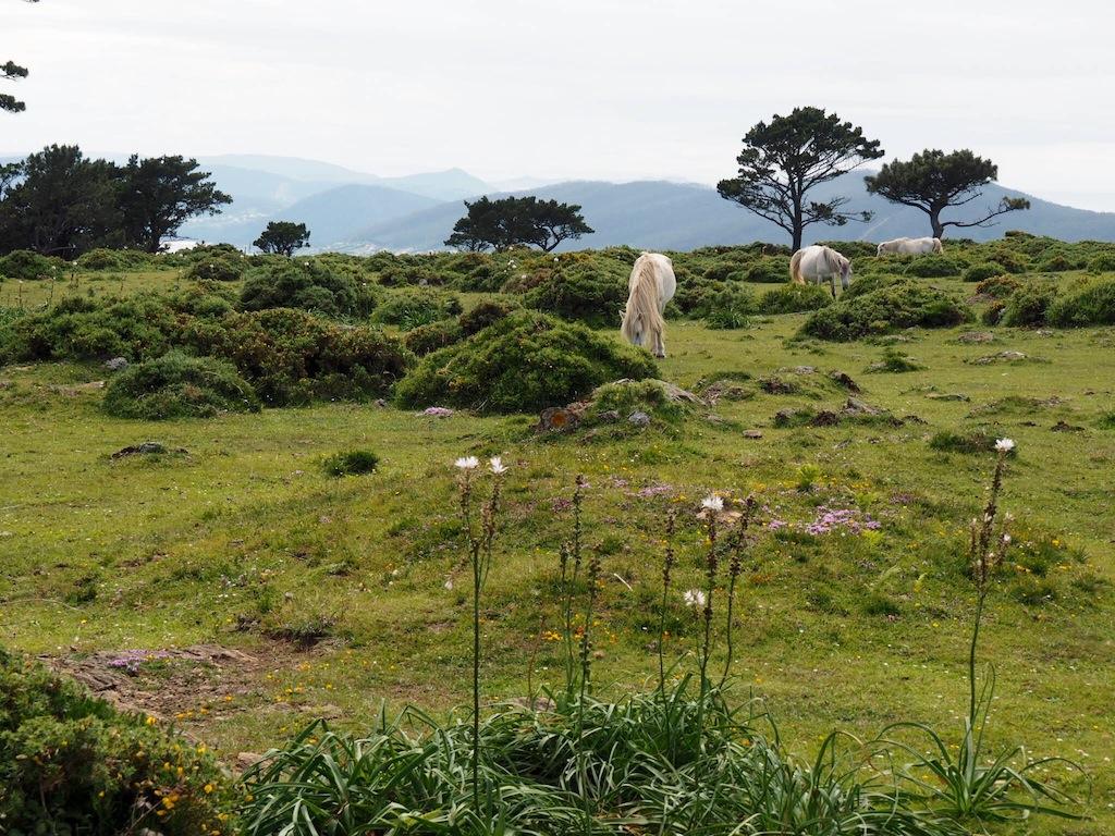 Wild horses in Galicia