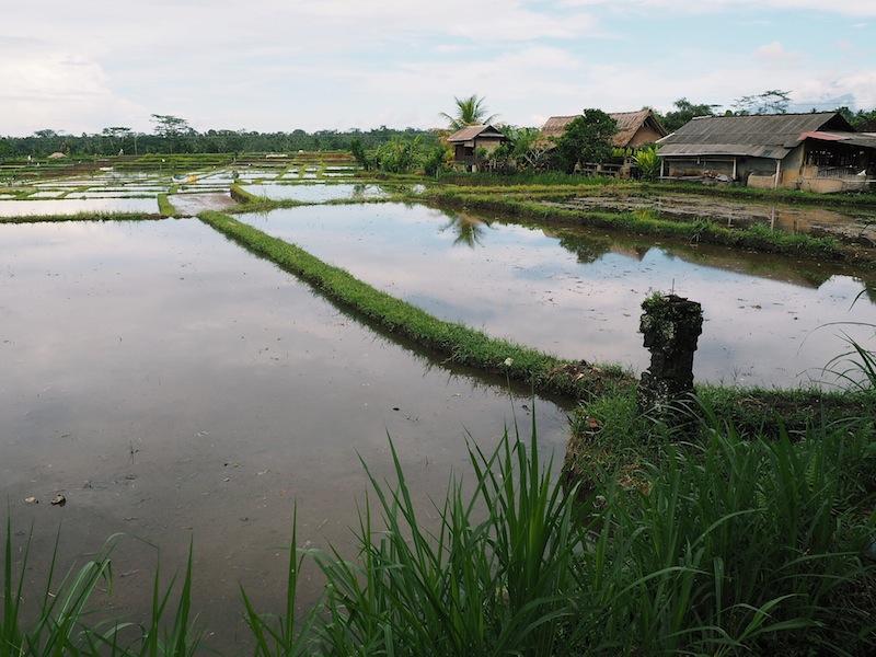 Rice fields outside Ubud