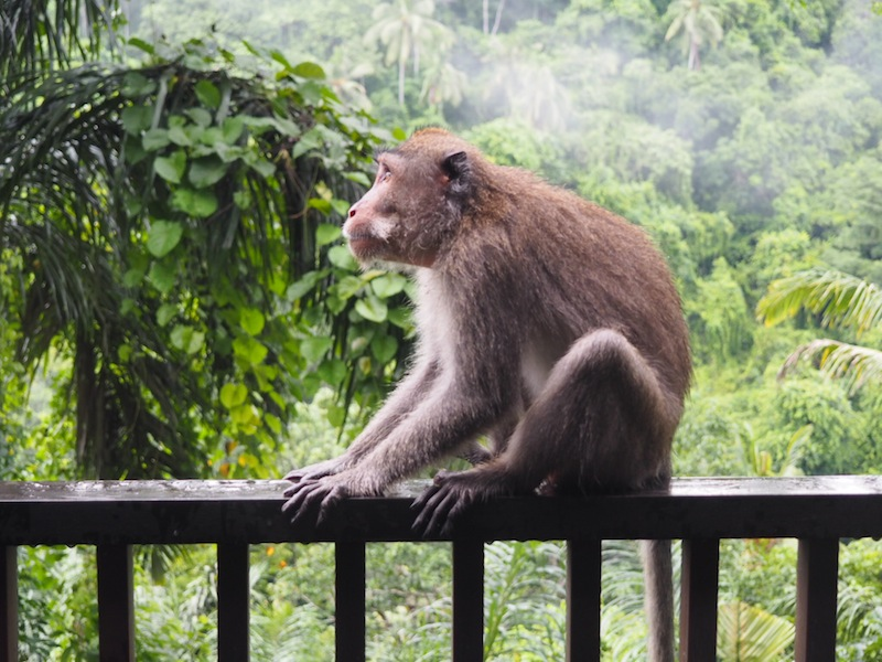 Cheeky monkey hanging out on my terrace