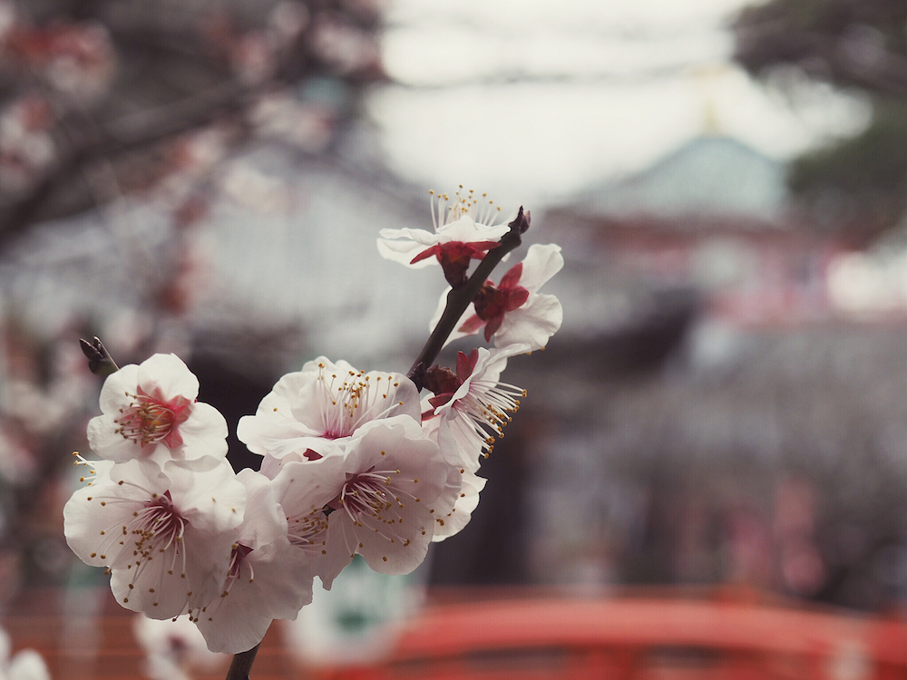 Early blooming blossom at Kimii-Dera Temple
