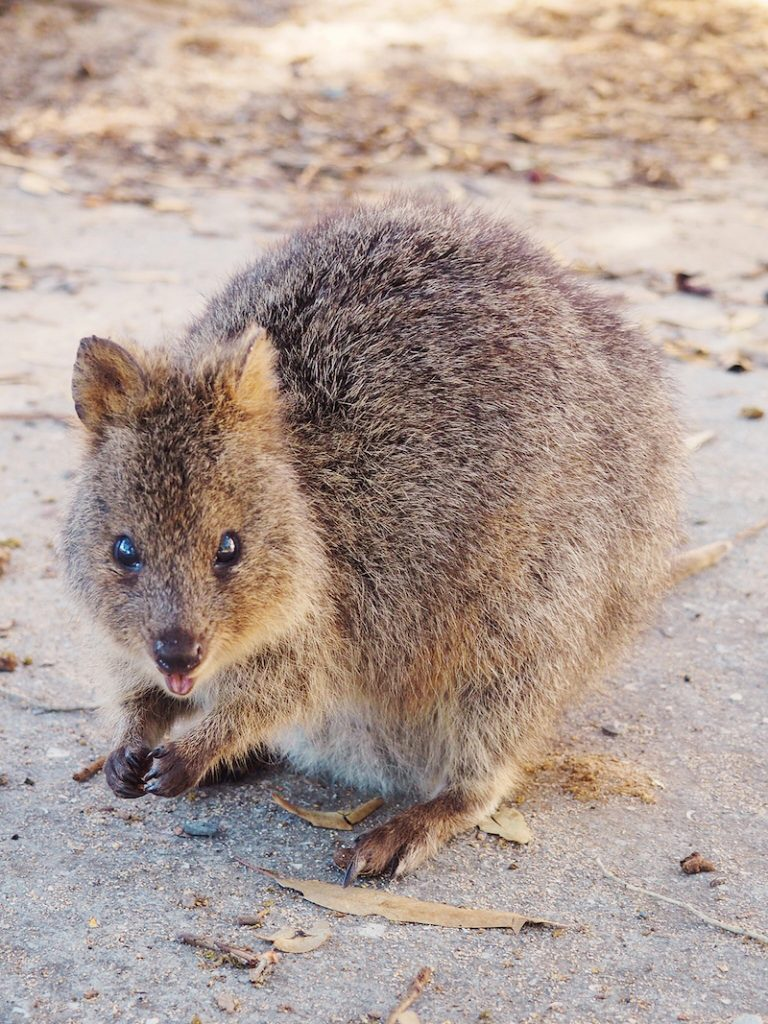 The quokka is a marsupial native to Rottnest Island WA