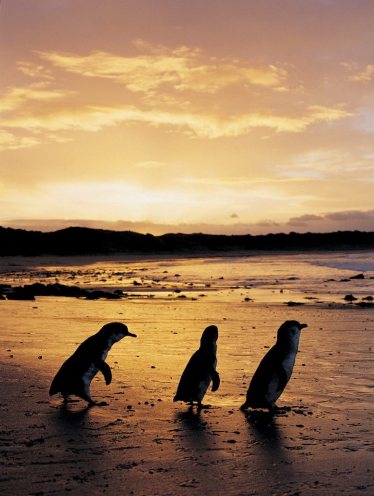 6 Road Trips From Melbourne | Best Day Trips In Victoria | Phillip Island Nature Park Victoria