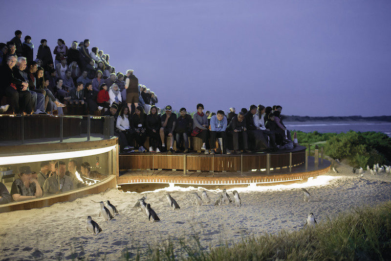 Is The Phillip Island Penguin Parade All It's Cracked Up To Be?