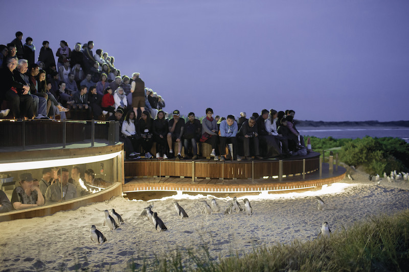 Is It Worth Visiting Phiilip Island Penguin Parade Near Melbourne?