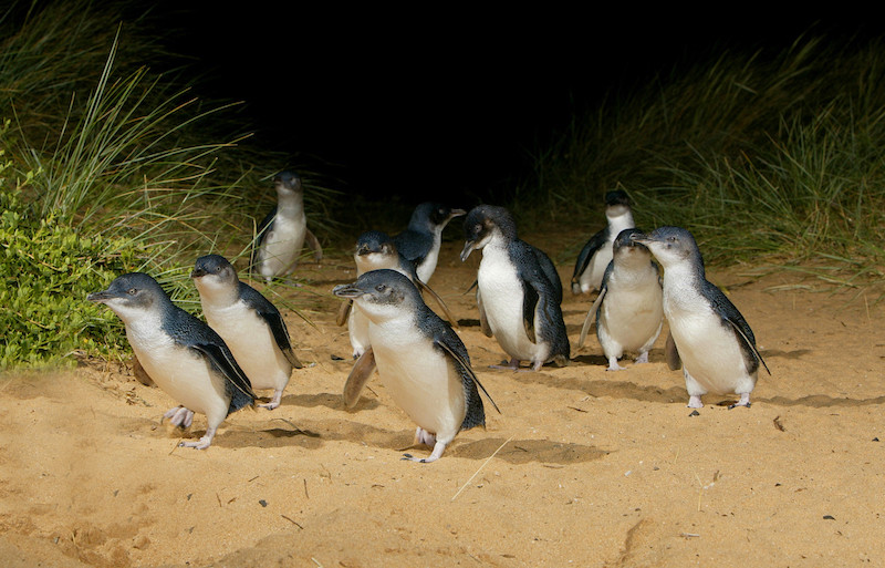 Penguins at Phillip Island