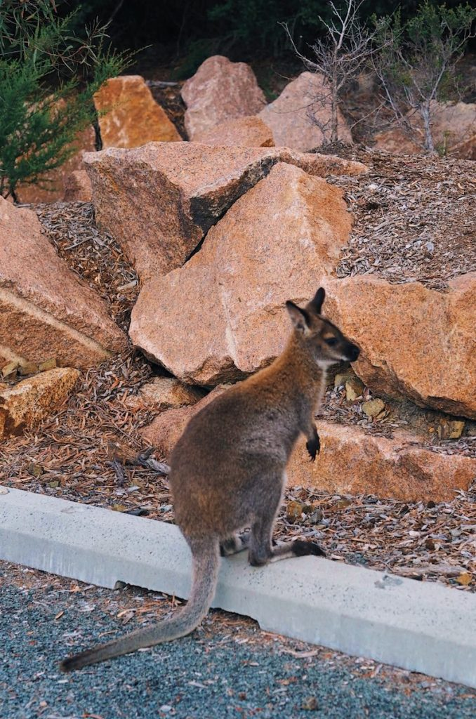 Wallaby at Wineglass Bay Lookout
