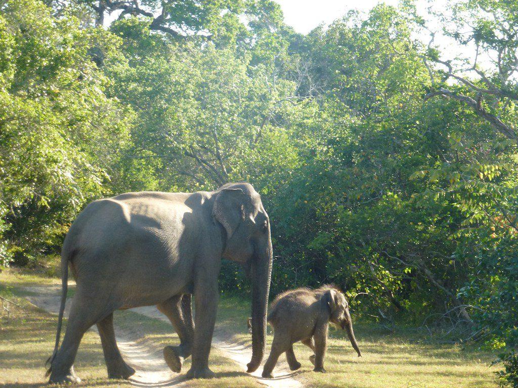 leopard safari yala national park